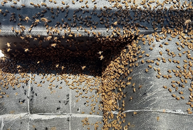 decheterie jau abeille 3 Les abeilles colonisent la benne mobilier SMICOTOM 33
